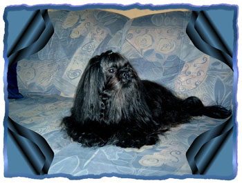 Magic Best Boy  den von Shih Tzu of Shu-Lin